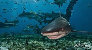 The Lemon Shark Smile from Tiger Beach - Bahamas by Steven Anderson 